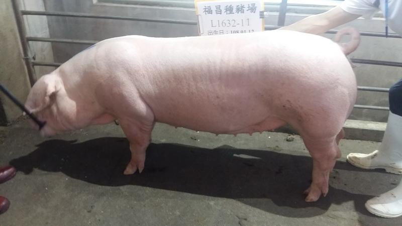 台灣區種豬產業協會10808期L1632-11側面相片