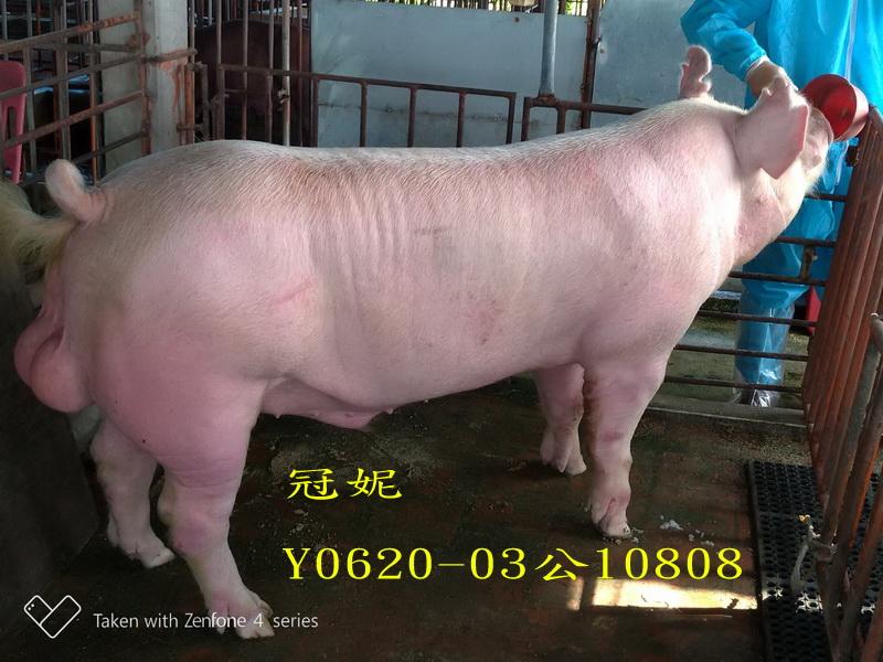 台灣區種豬產業協會10808期Y0620-03側面相片