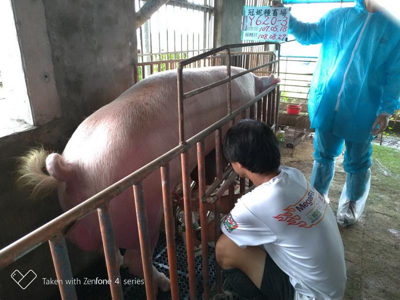 台灣區種豬產業協會10808期Y0620-03採精相片