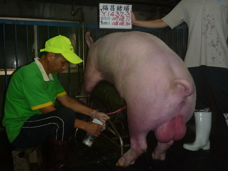 台灣區種豬產業協會10808期Y1432-03採精相片