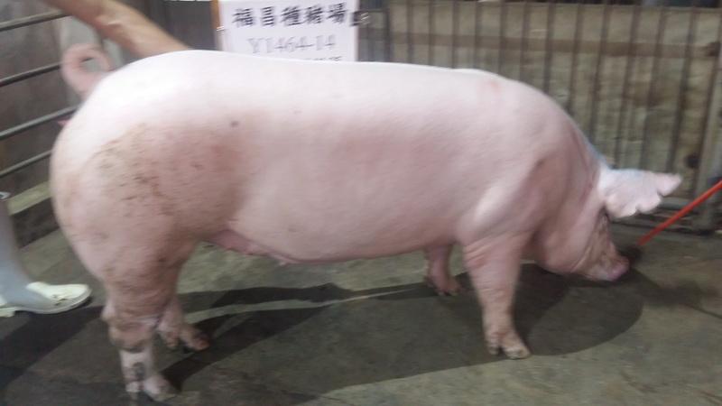 台灣區種豬產業協會10808期Y1464-14側面相片