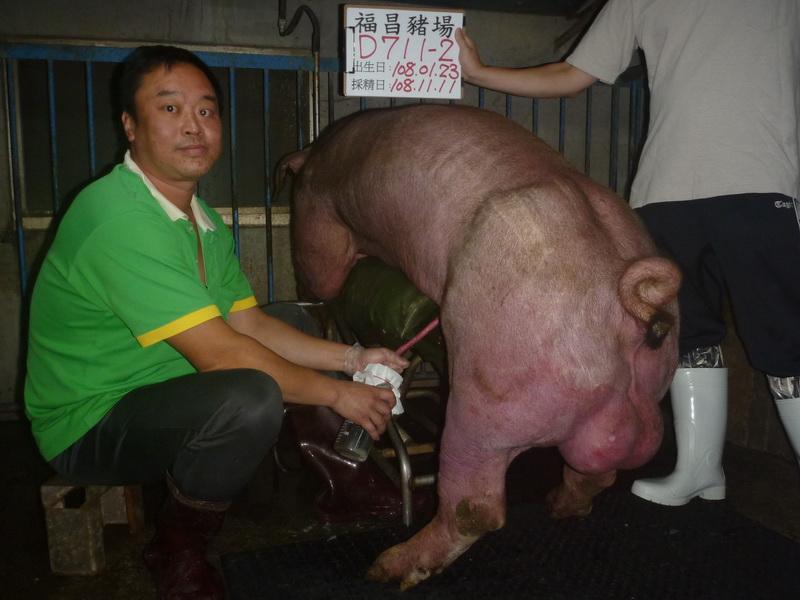 台灣區種豬產業協會10810期D0711-02採精相片