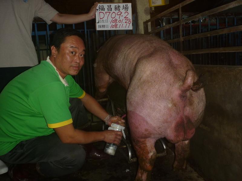 台灣區種豬產業協會10810期D0709-02採精相片