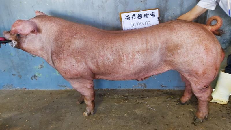 台灣區種豬產業協會10810期D0709-02側面相片
