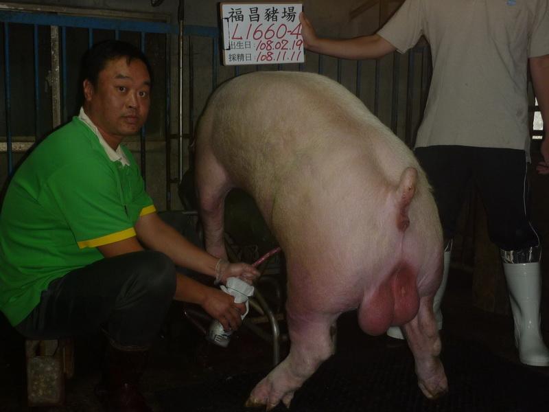 台灣區種豬產業協會10810期L1660-04採精相片