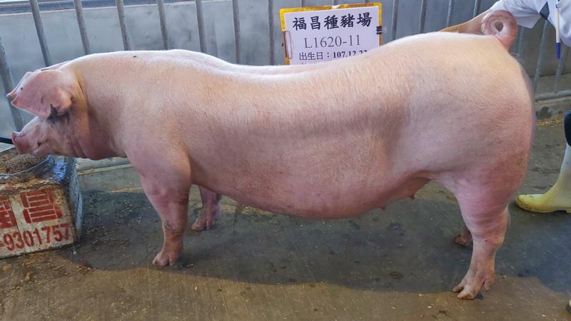 台灣區種豬產業協會10810期L1620-11側面相片