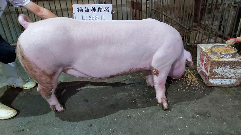 台灣區種豬產業協會10810期L1688-11側面相片