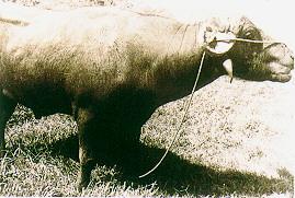 水牛的雜訊-早期役用水牛 (畜產種原庫及基因交流p52)