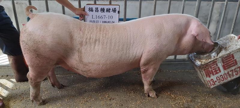 台灣區種豬產業協會10811期L1667-10側面相片