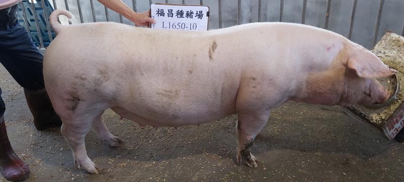 台灣區種豬產業協會10811期L1650-10側面相片