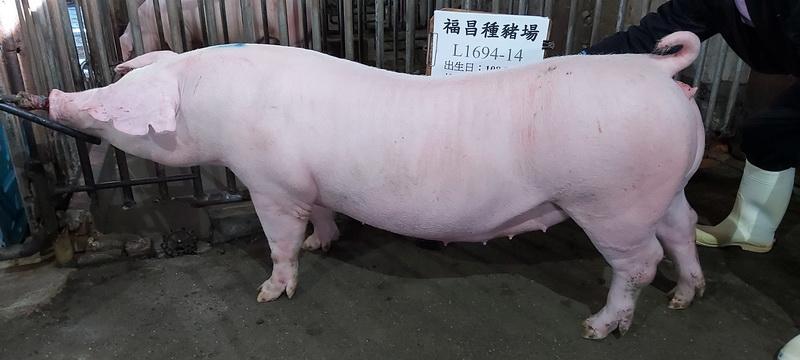 台灣區種豬產業協會10811期L1694-14側面相片