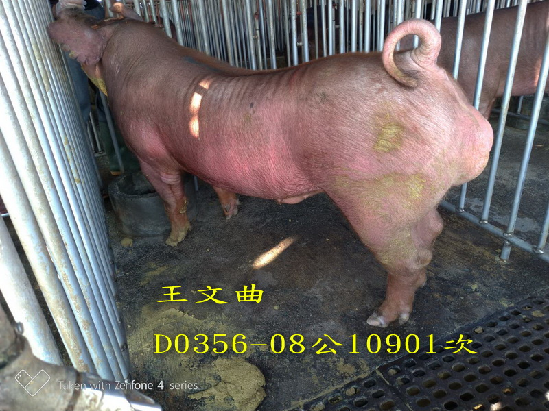 台灣區種豬產業協會10901期D0356-08側面相片