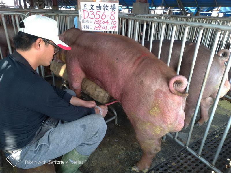 台灣區種豬產業協會10901期D0356-08採精相片