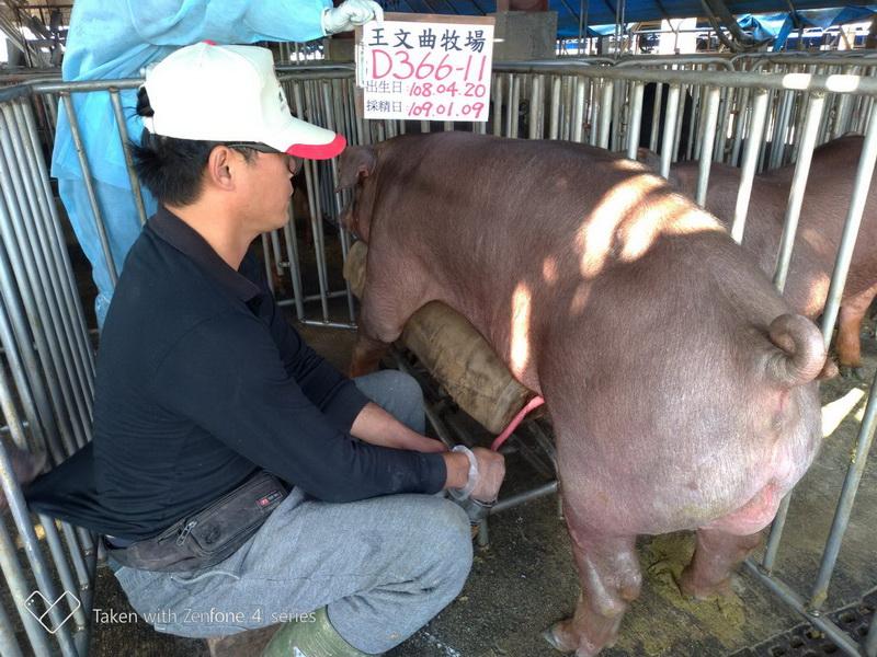 台灣區種豬產業協會10901期D0366-11採精相片