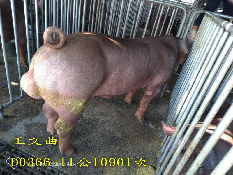 台灣區種豬產業協會10901期D0366-11側面相片