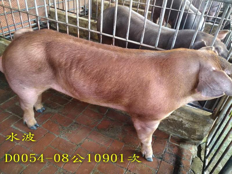 台灣區種豬產業協會10901期D0054-08側面相片