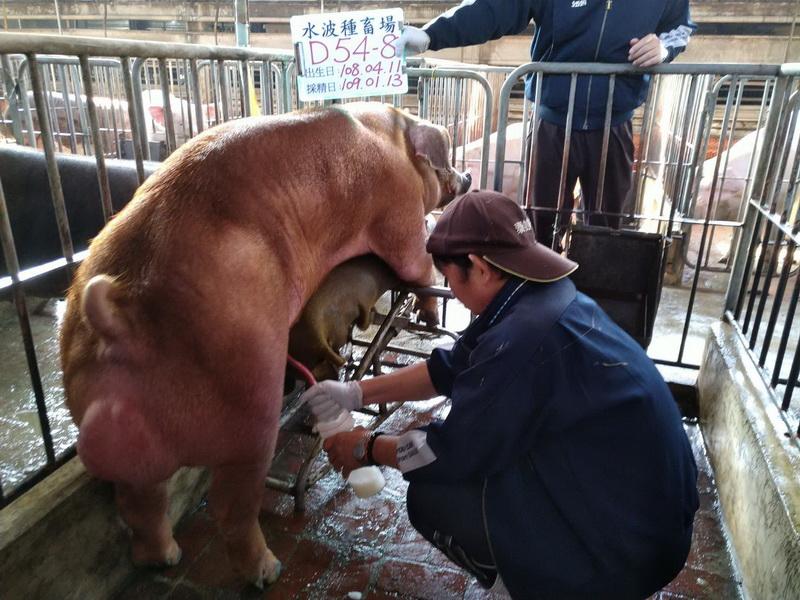 台灣區種豬產業協會10901期D0054-08採精相片