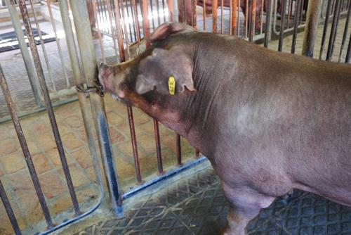 中央畜產會201907期D1143-04體型-頭頸相片