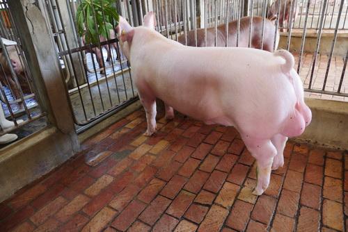 中央畜產會201907期Y1482-01體型-全身照片