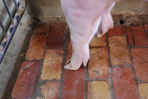 中央畜產會201907期Y1482-01體型-四肢相片