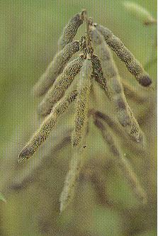 野生大豆(爪哇大豆)Neonotonia wightii (Wight & Arn.)