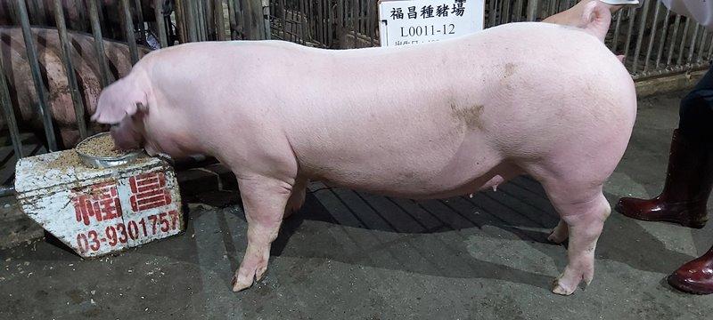 台灣區種豬產業協會10905期L0011-12側面相片
