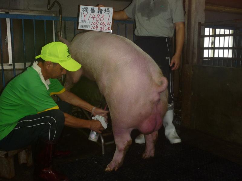 台灣區種豬產業協會10905期Y1488-01採精相片