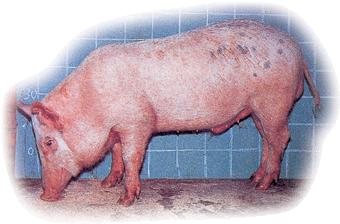 李宋豬 Lee-Sung Pig