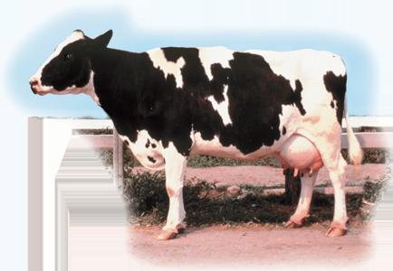 荷蘭牛 Holstein