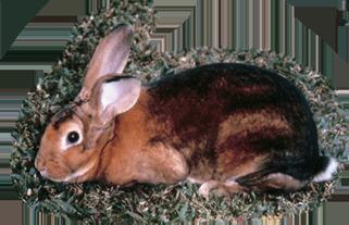 雷克斯兔(海狸色) Rex Rabbit(Castor)
