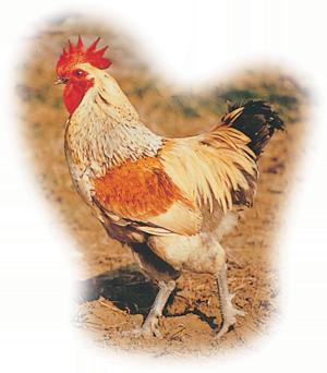 內門土雞 Nei-Mong Native Chicken