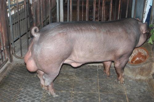 中央畜產會202003期D0218-05體型-全身照片