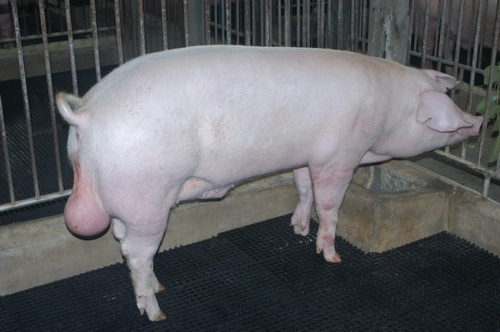 中央畜產會202003期L0051-15體型-全身照片