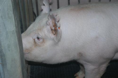 中央畜產會202003期Y1258-16體型-頭頸相片