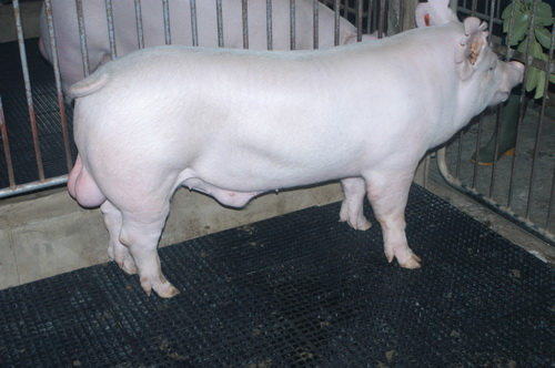 中央畜產會202003期Y0527-03體型-全身照片