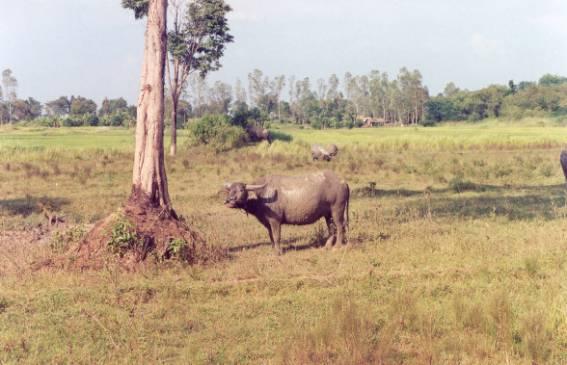 泰國水牛 (APEC 2003 p8)