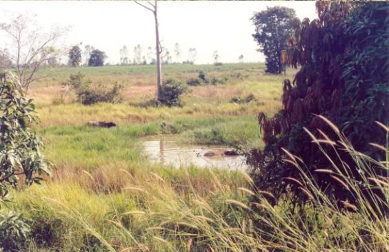 泰國水牛 (APEC 2003 p10)