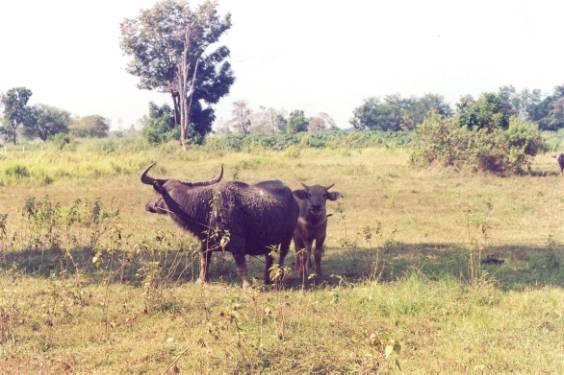 泰國水牛 (APEC 2003 p11)