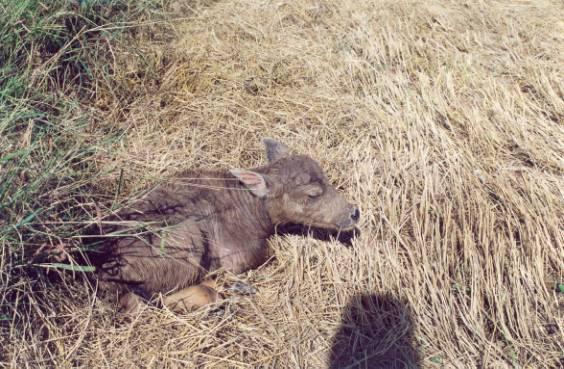 泰國水牛 (APEC 2003 p12)