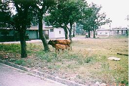 黃牛及雜種牛之雜訊-民間飼養情況 (1) (畜產種原庫及基因交流p53)