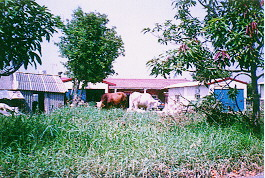 黃牛及雜種牛之雜訊-民間飼養情況 (2) (畜產種原庫及基因交流p53)