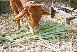 黃牛及雜種牛之雜訊-役用雜種牛餵飼狀況(2)(畜產種原庫及基因交流p53)