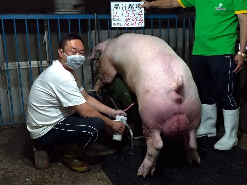 台灣區種豬產業協會11003期L0155-04採精相片