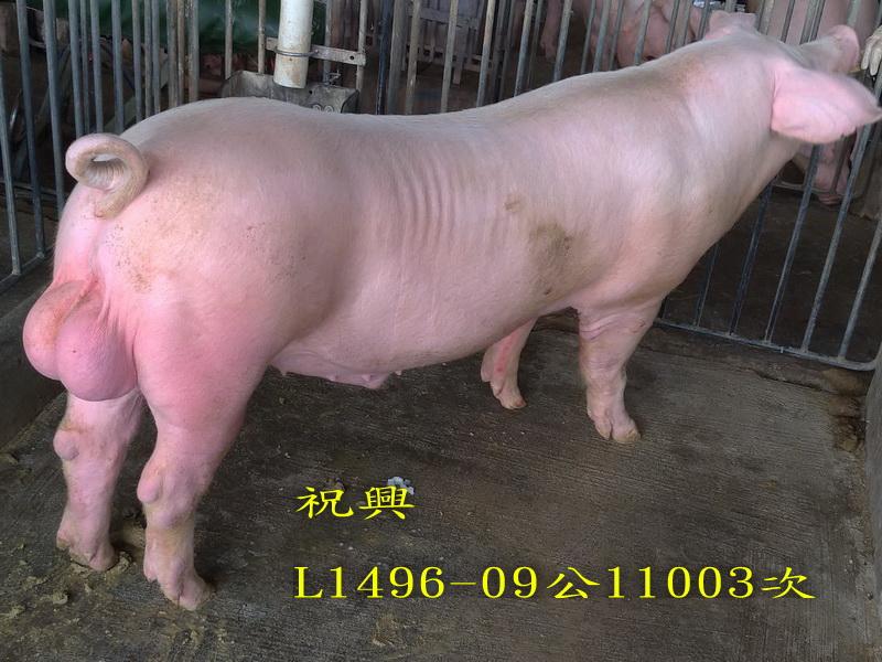 台灣區種豬產業協會11003期L1496-09側面相片