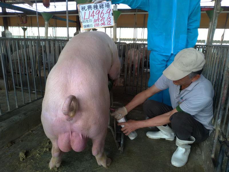 台灣區種豬產業協會11003期L1496-09採精相片