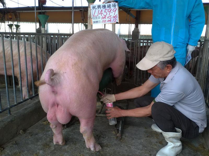 台灣區種豬產業協會11003期L1459-09採精相片