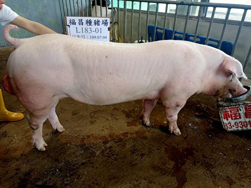 台灣區種豬產業協會11003期L0183-01側面相片