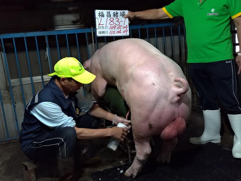台灣區種豬產業協會11003期L0183-01採精相片