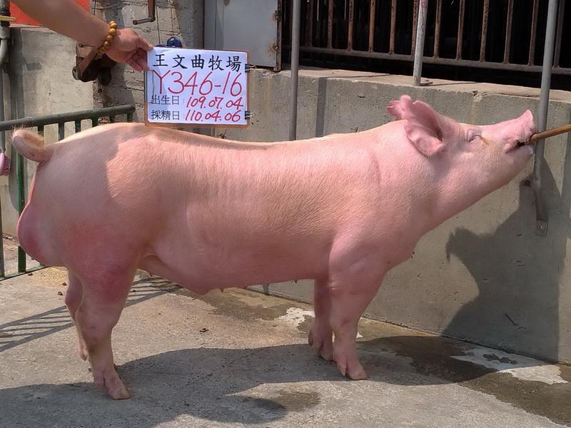台灣區種豬產業協會11003期Y0346-16側面相片