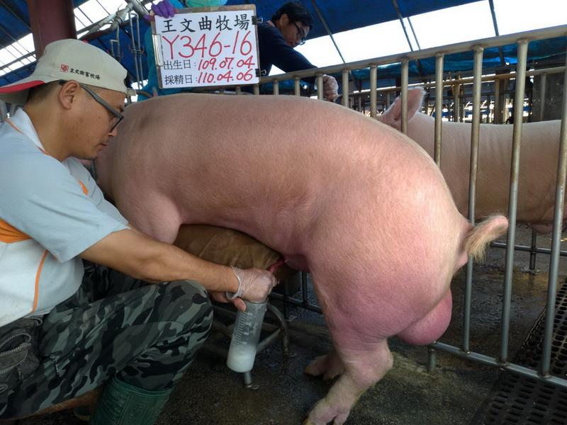 台灣區種豬產業協會11003期Y0346-16採精相片